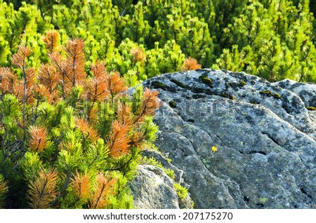 Beautiful view from mountains with dwarf pine in the foreground - stock photo