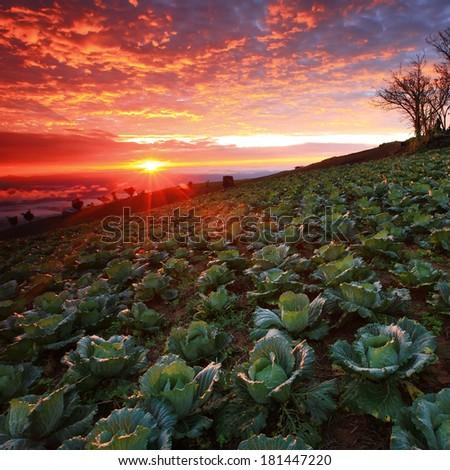 Beautiful view of cabbage plantation at sunrise stock photo
