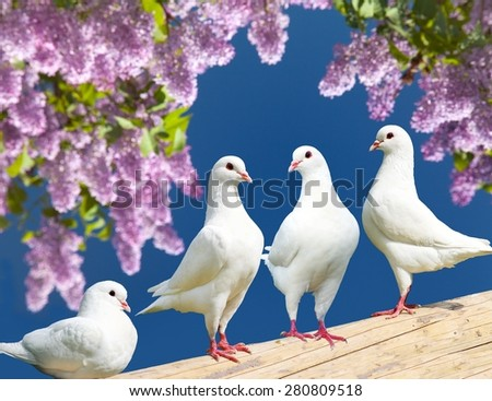 Beautiful view of  four white pigeons on perch with flowering lilac tree background, imperial pigeon, ducula  - stock photo