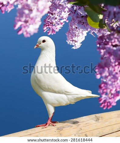 Beautiful view of one white pigeon on perch with flowering lilac tree background, imperial pigeon, ducula  - stock photo