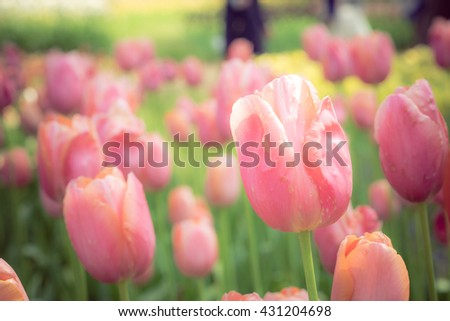 Beautiful view of pink tulips & sunlight, background concept.