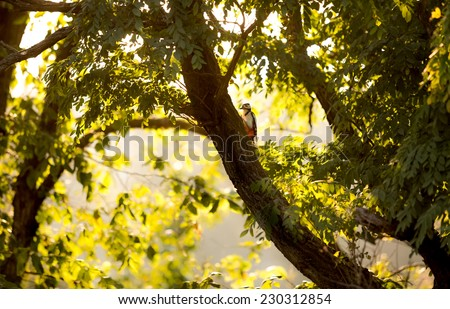 Beautiful view of red woodpecker sitting on big tree at sunset  - stock photo