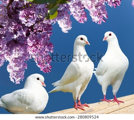 Beautiful view of three white pigeons on perch with flowering lilac tree background, imperial pigeon, ducula  - stock photo