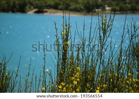 Beautiful view through the blooming Yellow Spanish Broom bush on the St.Croix lake in Verdon. (Provence, France)    Selective focus. Bokeh. - stock photo