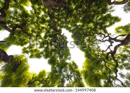 Beautiful, view up into the canopy of a very large, impressive elm tree. Long, twisted, gnarled branches reach up into the sky to present the gentle clusters of the green leaves.