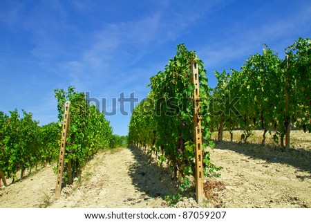Beautiful vineyard in row disposition with grape clusters under a blue sky in Italy