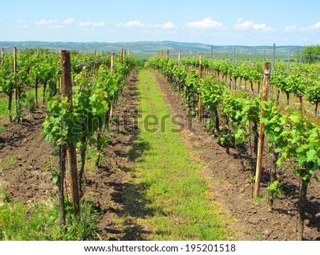 Beautiful Vineyard In Velke Bilovice South Moravia Czech