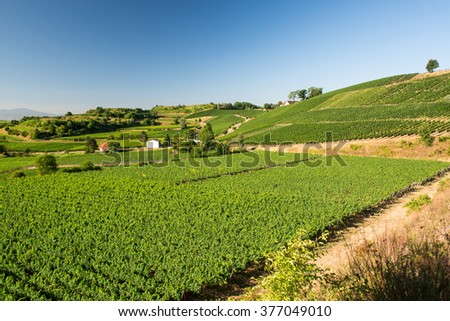 Beautiful Vineyard Terraces With Blue Sky And Sunshine in Ihringen, Kaiserstuhl, Germany. This Region Has The Most Hours Of Sunshine In Germany. Travel And Wine-making Background.