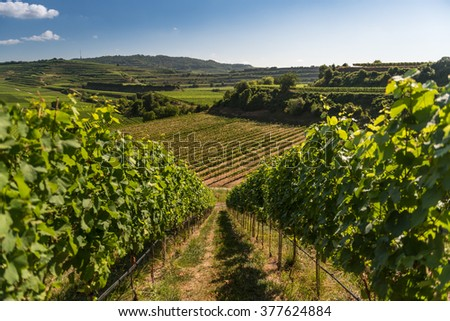 Beautiful Vineyard Terraces With Blue Sky And Sunshine in Ihringen, Kaiserstuhl, Germany. This Region Has The Most Hours Of Sunshine In Germany. Travel And Wine-making Background. - stock photo