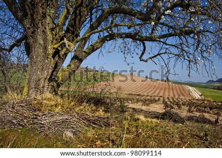 Beautiful vineyard under the branches of a tree - stock photo