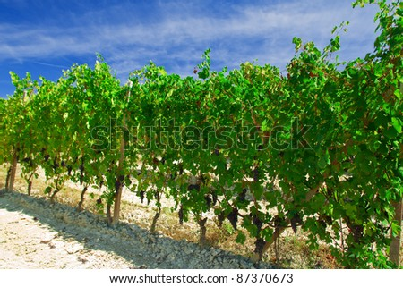 Beautiful vineyard with grape clusters under a blue sky in Italy