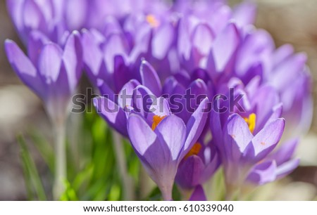 29382fdf3e2e Stock photo beautiful violet crocuses flowers early spring close up flowers  with bright sunlight jpg 450x306