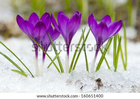Beautiful violet crocuses in the snow - stock photo