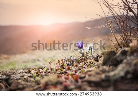 Beautiful violet crocuses on the mountain at sunset. First spring flowers. Macro image with small depth of field. Vintage effect - stock photo
