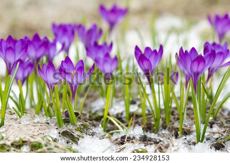 Beautiful violet crocuses on the snow