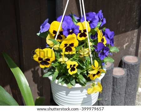 beautiful violet flower in pot and Suspended by ropes