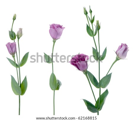 Beautiful violet flower isolated on white. - stock photo