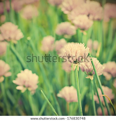 Beautiful violet flowers of allium aflatunense field, vintage retro background