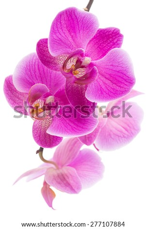 Beautiful violet home flowers orchids. Macro. Located against white background. - stock photo