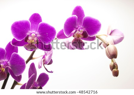 Beautiful violet orchid (phalaenopsis), isolated on white