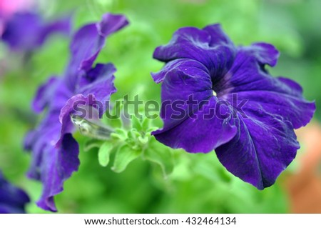 Beautiful Violet Petunia Flowers in Garden