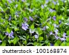 beautiful violets flowers in the garden, violets, viola-cornuta, violets (viola) - stock photo