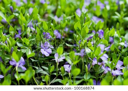 beautiful violets flowers in the garden, violets, viola-cornuta, violets (viola) - stock photo