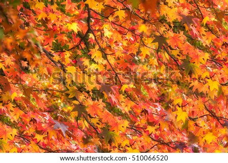 Beautiful vivid autumn leaves on brunches - background or pattern