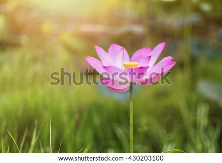 Beautiful vivid lotus flower in blooming at sunrise with soft focusing and warm tones