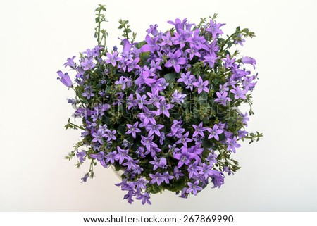 Beautiful vivid purple spring flower bush Dalmatian bellflower (Campanula portenschlagiana) - stock photo