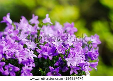 Beautiful vivid purple spring flower bush Dalmatian bellflower (Campanula portenschlagiana) on green background - stock photo