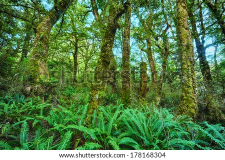 Beautiful vivid rainforest in New Zealand. Tree trunks are covered by moss and ground is full of fern. Fiordland national park - stock photo