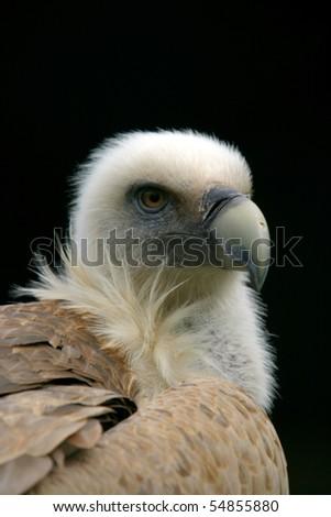 beautiful vulture, nature animal photo - stock photo