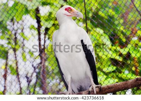beautiful  vulturine fish eagle or palm-nut vulture. - stock photo