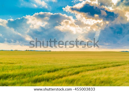 beautiful warm color of nature in a scenic sunset landscape with trails on a barley field leading to the setting sun
