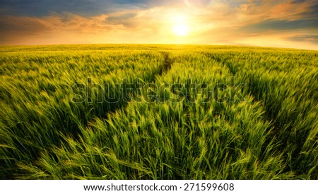 Beautiful warm colors of nature in a scenic sunset landscape with trails on a barley field leading to the setting sun - stock photo