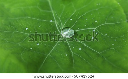 Beautiful water drop on a green leaf. A large drop of dew. Closeup.
