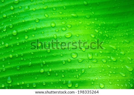Beautiful Water drops on banana leaves