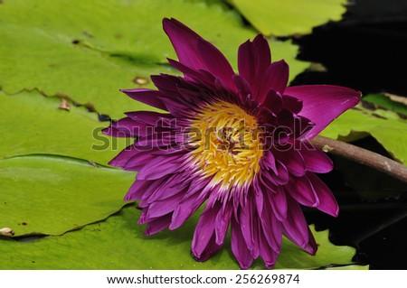 Beautiful water lilly - stock photo