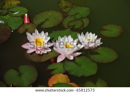 Beautiful water lilly after rain - stock photo