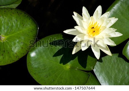 beautiful water lily with a bee gathering nectar - stock photo