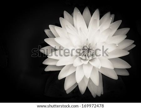 Beautiful water lily with layers of petals on black background - stock photo