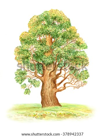 beautiful watercolor painting of a large oak tree on a white background