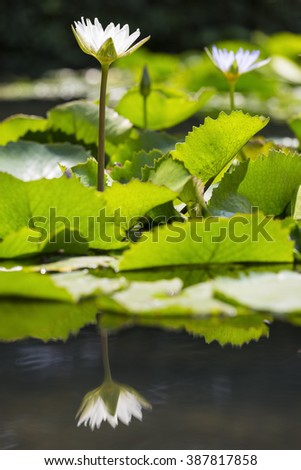 beautiful waterlily or lotus flower