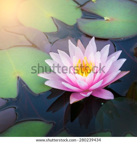 Beautiful waterlily or lotus flower in pond
