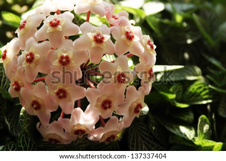 beautiful waxy ivy blooms with small balls - stock photo
