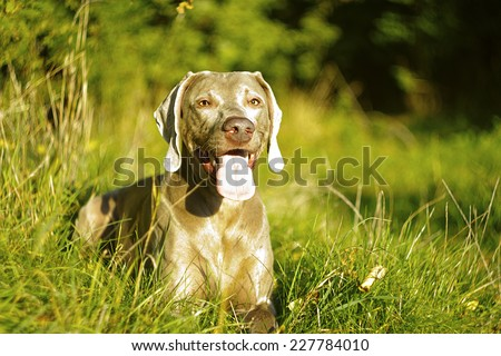beautiful weimaraner dog puppy in summer nature - stock photo