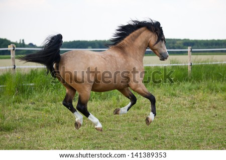 beautiful Welsh Cob pony runs over the field