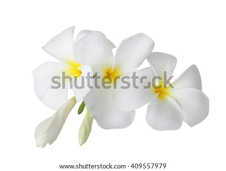 Beautiful wet white tropical flower petals stock photo royalty free beautiful wet white tropical flower and petals frangipani flower isolated on white background with clipping path mightylinksfo