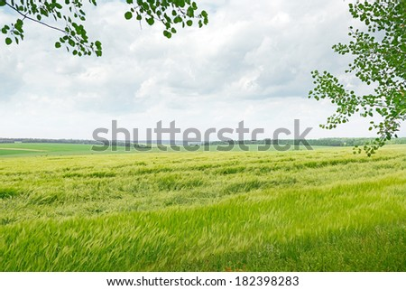 beautiful wheat field and blue cloudy sky